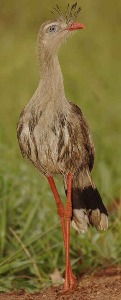 A seriema (Cariama cristata) pertence a uma das linhagens mais antigas e procede da América do Sul.