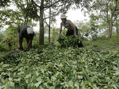 Plantação de coca na região de Ayacucho, Peru