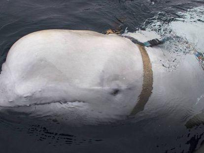 A beluga vista enquanto nadava ao lado de um barco de pesca norueguês.