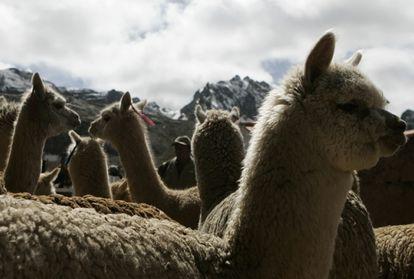 Alpacas em Ticlio, uma área no distrito de Chicla, na região de Lima. Um tratamento contra a covid-19 desenvolvida no Peru começou a ser testado nesses animais.