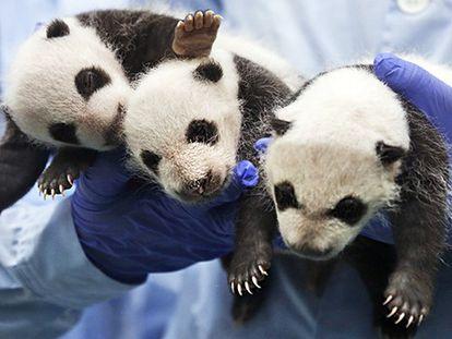 O primeiro mês dos trigêmeos panda
