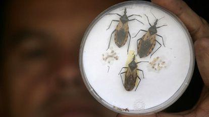 Exemplares do inseto que transmite a doença de Chagas.