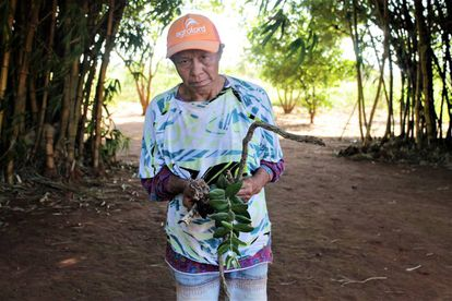 Elaine Guarani Kaiowá, 80 anos, mostra as raízes que tem usado para tratar os sintomas de intoxicação.