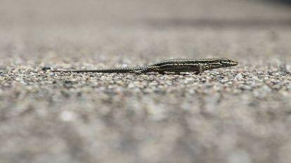Uma lagartixa fila de chicote.