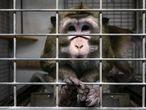 Un macaco en una jaula en las instalaciones del laboratorio Vivotecnia, en Madrid, cerrado por supuesto maltrato animal