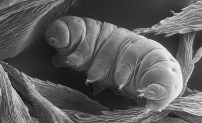 Tardígrados são frequentemente encontrados em musgos, onde comem células vegetais ou pequenos invertebrados.