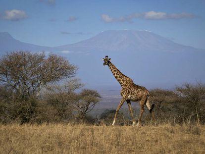 Uma girafa caminha no parque nacional de Amboseli, no Quênia.