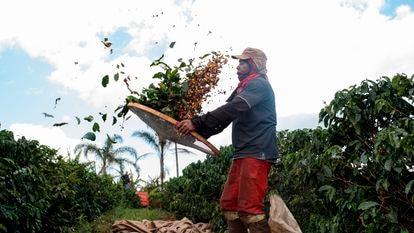 Agricultor separa grãos e folhas de café numa plantação brasileira.