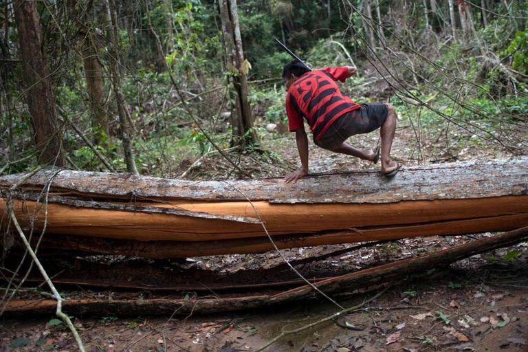 Indígena pula árvore derrubada ilegalmente no Pará.