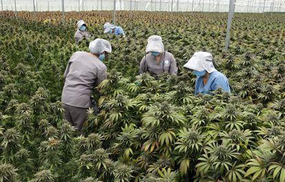 Trabalhadores cuidam de plantas de cannabis no viveiro da empresa Clever Leaves em Pesca, Boyacá (Colômbia), no dia 1º de julho.