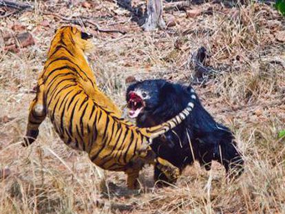 Briga foi capturada em vídeo por um guia turístico durante um safári num parque nacional