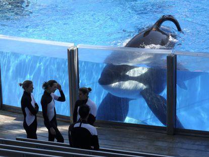 A orca Tilikum, no SeaWorld.