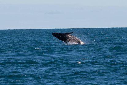 Abrolhos é um berçário das baleias jubarte.