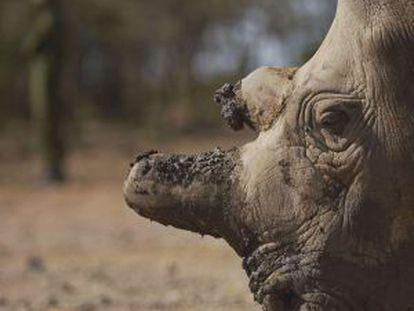 Retrato de Najin, um dos únicos cinco exemplares que restam vivos da subespécie de rinoceronte branco do norte.