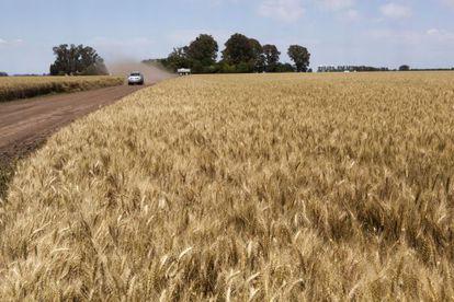 Plantações de trigo no município bonaerense de Suipacha.