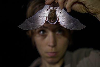 A zoóloga britânica Alice Hughes examina um morcego.