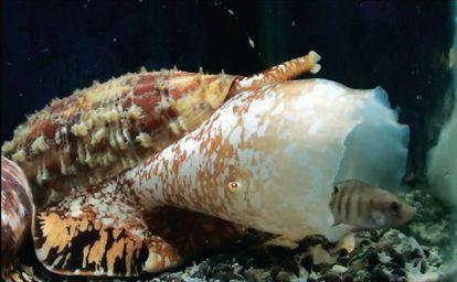 O caracol 'Conus geographus' usa uma nuvem de insulina para imobilizar suas presas.