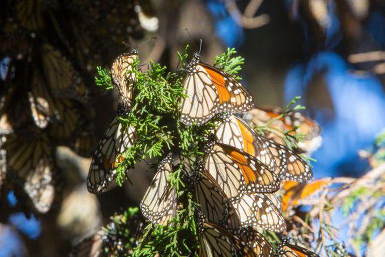 Borboletas-monarcas em Michoacán.