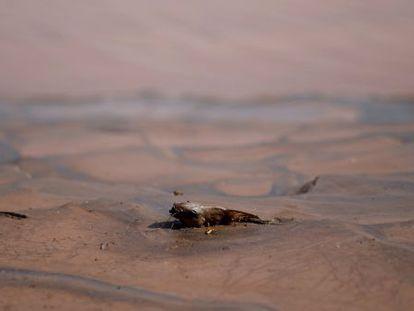 A lama de rejeitos que invadiu o Rio Doce matou centenas de peixes.