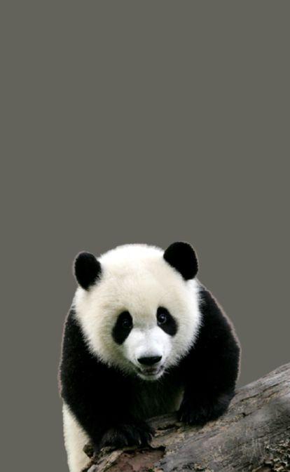 Visita ao vale dos pandas na China