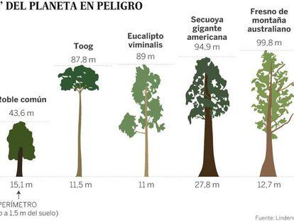 As maiores árvores do planeta estão desaparecendo