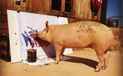 A porca 'Pigcasso' pinta um quadro no refúgio onde vive na Cidade do Cabo (África do Sul