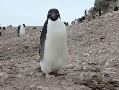 Colônias de pinguins-de-adélia, com a da imagem, serão prejudicadas pelo derretimento de gelo.