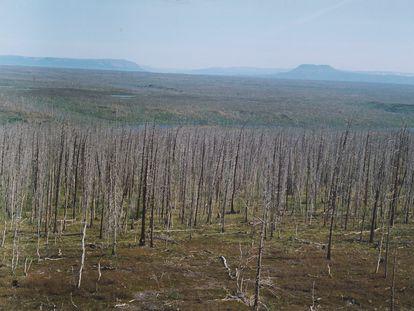 As árvores estão morrendo num raio de dezenas de quilômetros da cidade de mineração Norilsk, na Sibéria.