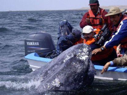 Exemplares de baleia-cinzenta na Baixa Califórnia.