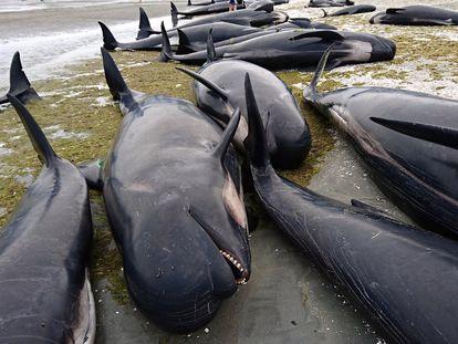 Cerca de 300 baleias-piloto morreram nesta sexta-feira na Nova Zelândia depois que mais de 400 desses animais encalharam na remota baía Golden, no noroeste da ilha Sul, segundo a imprensa local. Trata-se de um dos maiores incidentes desse tipo já vistos no país. Na foto, alguns dos animais mortos na praia de Farewell Spit.