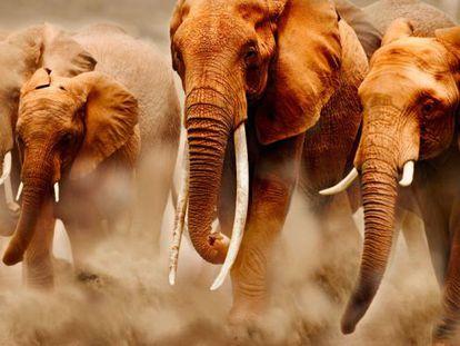 Dezenas de milhares de elefantes morrem a cada ano, abatidos a tiros.