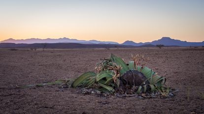 Espécime de 'Welwitschia' no deserto do Namibe, na Namíbia, em 2016.