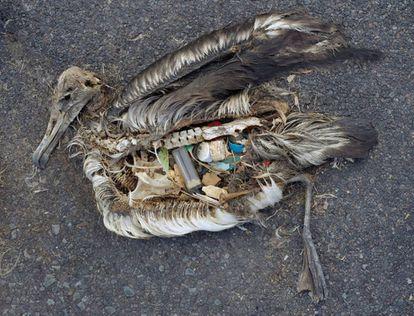 Albatroz morto nas ilhas Midway