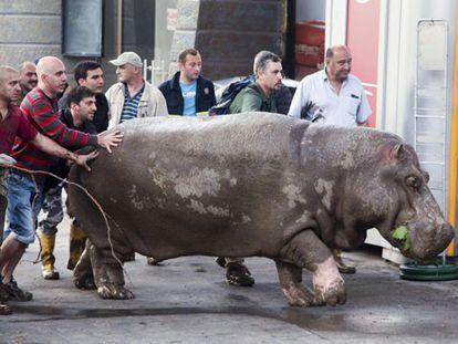 Pessoas transportam um hipopótamo.