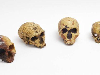 Reproduções de crânios neandertais no gabinete de Antonio Rosas, no Museu Nacional de Ciências Naturais, em Madri.