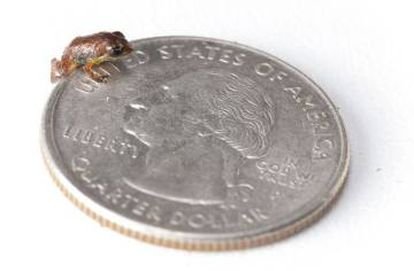 Eleutherodactylus thorectes.