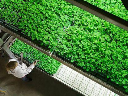 Folhas de tabaco são usadas na produção do medicamento experimental no laboratório de biotecnologia Mapp.
