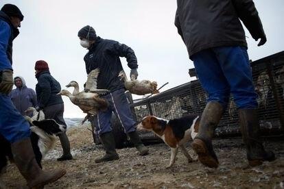 Os trabalhadores de uma granja afetada pelo vírus H5N8 transportam patos para seu sacrifício, em 13 de janeiro, em Mugron (França).