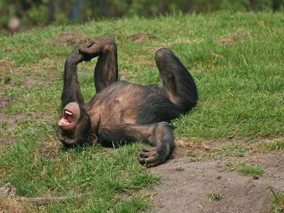 Segundo a zoóloga Isabel Behncke, esses primatas riem das mesmas coisas que nós: das cócegas e das surpresas.