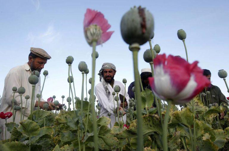 Agricultores plantam papoula para a produção de heroína na província de Jalalabad (Afeganistão).