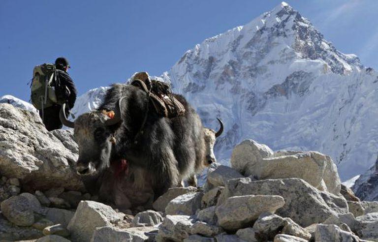 Dois iaques junto a um alpinista no Everest.