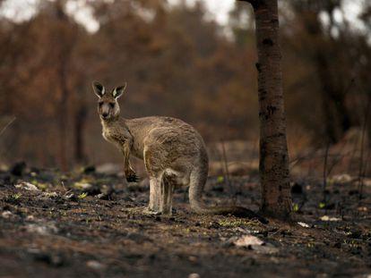 Canguru ferido em bosque queimado na Austrália. Em vídeo, as consequências dos incêndios para os animais.