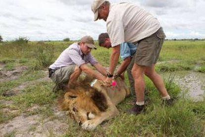 Uma das leoas com aspecto de leão, sedada.