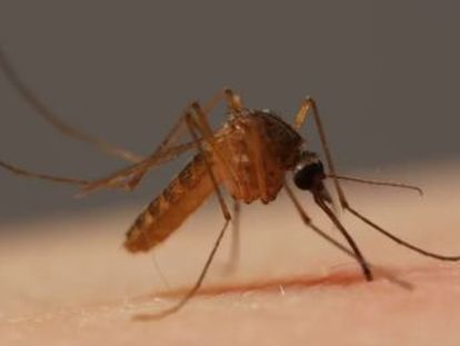 Câmera capta em altíssima definição o processo através do qual as fêmeas do mosquito incubam seus ovos