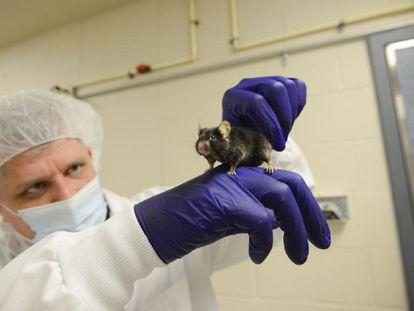 Pesquisador segura um camundongo de laboratório.
