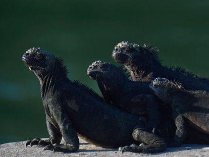Las iguanas marinas toman el sol en el Parque Nacional Galápagos en Puerto Ayora, Isla Santa Cruz, en las Islas Galápagos, a unos 900 km de la costa de Ecuador en el Océano Pacífico, el 14 de abril de 2021.