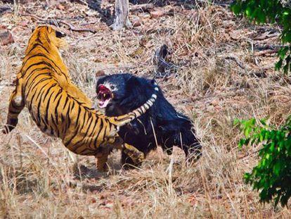 Um tigre e uma ursa se enfrentam no Parque Nacional de Tadoba, na Índia.