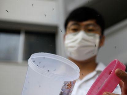 Liberação de exemplares machos do mosquito 'Wolbachia-aedes aegypti', como parte de um teste controlado em um condomínio de casas públicas em Cingapura, em 27 de agosto de 2020.