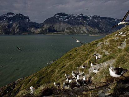 Colônia de albatros de sobrancelha negra em Karukinka (Chile)