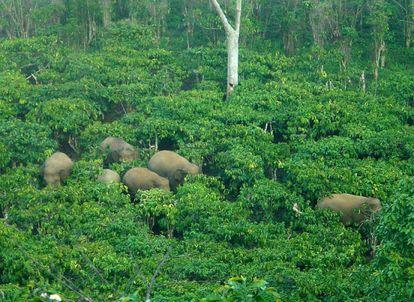 Elefantes de Sumatra na ilha indonésia.